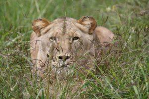 Lion in Bush
